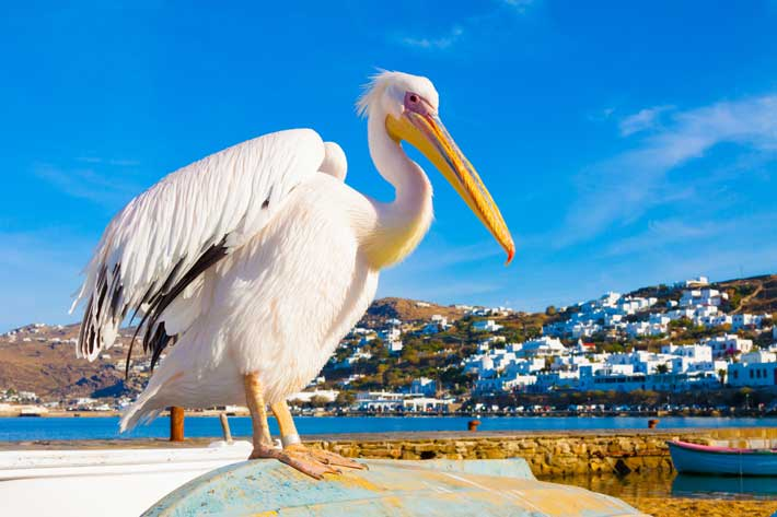 Petros el pelicano de mykonos grecotour - Fotos de pelicanos ...